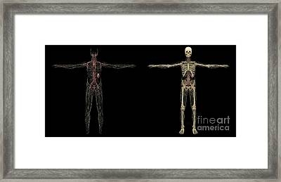 3d Rendering Of Human Lymphatic System Framed Print