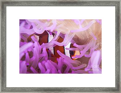 A Clarks Anemonefish Snuggles Amongst Framed Print by Ethan Daniels