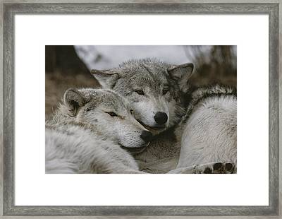 A Couple Of Gray Wolves, Canis Lupus Framed Print by Jim And Jamie Dutcher