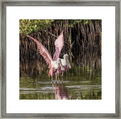 A Pair Of Spoonbills Framed Print