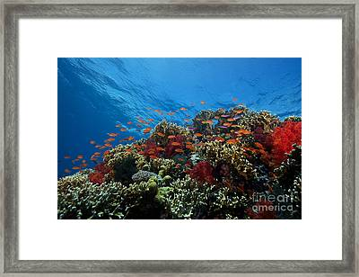 A School Of Orange Basslets Framed Print by Terry Moore