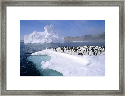 Adelie Penguin Pygoscelis Adeliae Group Framed Print by Tui De Roy