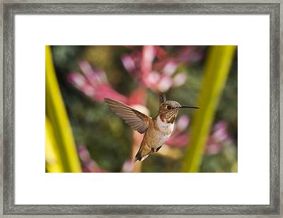 Allen's Hummingbird Framed Print by Mike Herdering