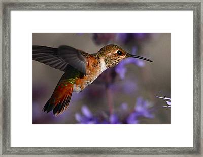 Allen's Hummingbird Framed Print