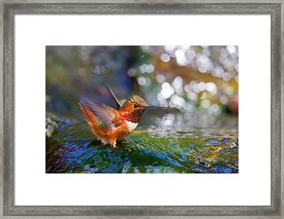 Allen's Hummingbird Framed Print by Thy Bun
