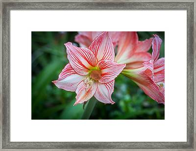 Amaryllis And Tree Frog Painted  Framed Print by Rich Franco