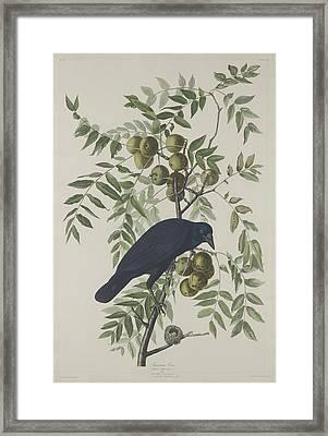 American Crow Framed Print by Rob Dreyer