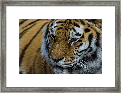 Amur Tiger Framed Print