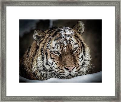 Amur Tiger Framed Print