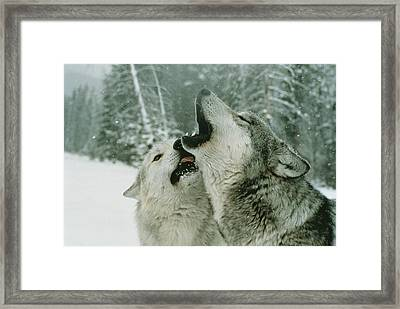 An Alpha Male Gray Wolf, Canis Lupus Framed Print by Jim And Jamie Dutcher