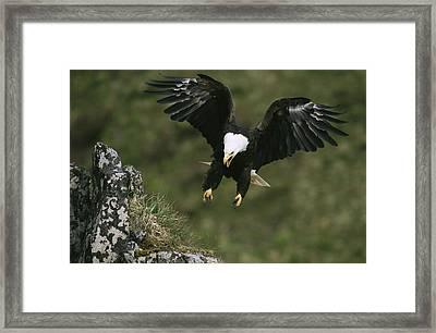 An American Bald Eagle Soars Framed Print by Klaus Nigge
