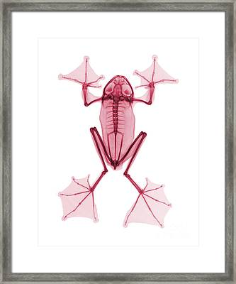 An X-ray Of A Flying Frog Framed Print by Ted Kinsman