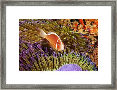 Anemonefish Framed Print by Dave Fleetham - Printscapes