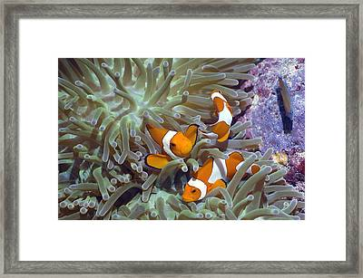 Anemonefish In Anemone Framed Print by Georgette Douwma
