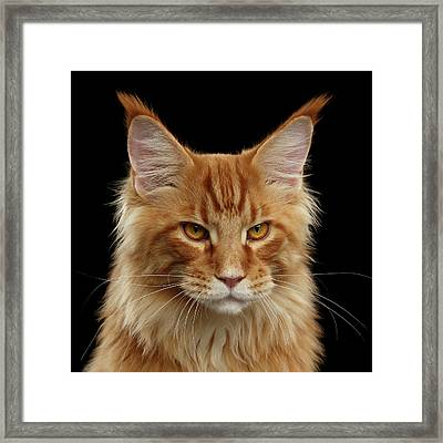 Angry Ginger Maine Coon Cat Gazing On Black Background Framed Print by Sergey Taran