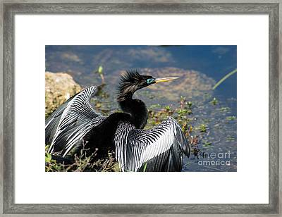 Anhiinga Framed Print by Carol Ailles