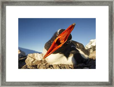 Antarctica, Petermann Island, Gentoo Framed Print by Paul Souders