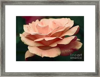 Antique Rose Framed Print