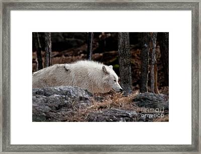 Arctic Wolf Framed Print by Michael Cummings