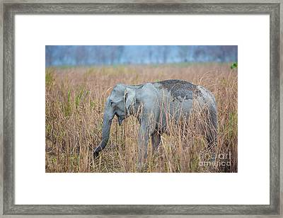 Asian Elephant, India Framed Print by B. G. Thomson