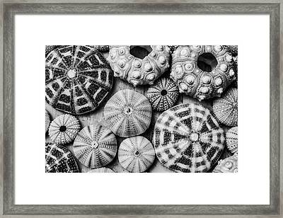 Assorted Sea Urchins Framed Print