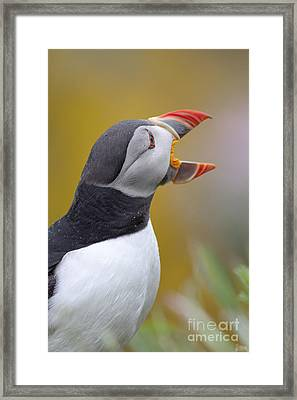 Atlantic Puffin - Scotland Framed Print