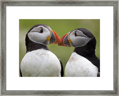 2 Atlantic Puffins Touching Beaks Framed Print by Jonathan Lewis