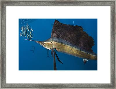 Atlantic Sailfish Istiophorus Albicans Framed Print by Pete Oxford