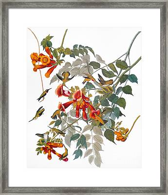 Audubon: Hummingbird Framed Print by Granger