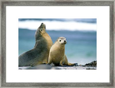 Australian Sea Lion Neophoca Cinerea Framed Print