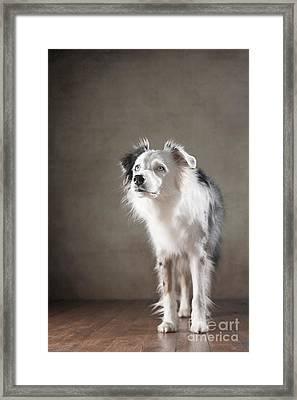 Australian Shepherd Framed Print by Jana Behr