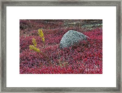 Autumn Blueberry Field Framed Print