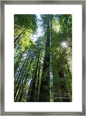 Avenue Of The Giants Redwood Trees California Dsc5458 Framed Print