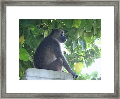Baboon Sits Guard  Framed Print