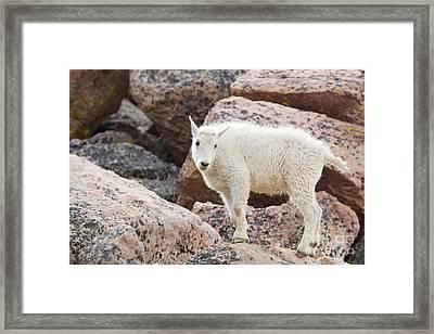 Baby Mountain Goats On Mount Evans Framed Print by Steve Krull