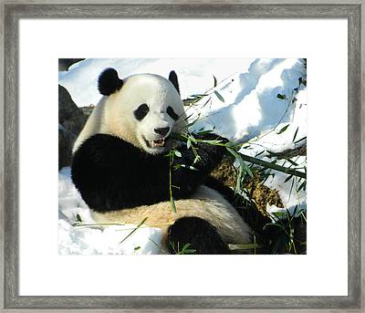 Bao Bao Sittin' In The Snow Taking A Bite Out Of Bamboo1 Framed Print