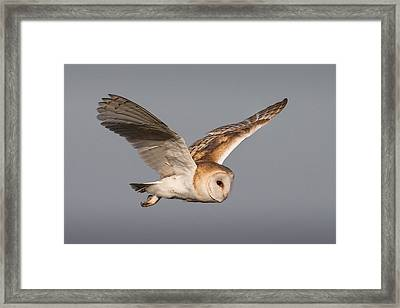 Barn Owl In Flight Framed Print by Ian Hufton