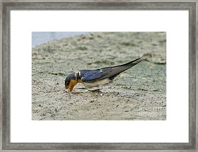 Barn Swallow Framed Print by Anthony Mercieca