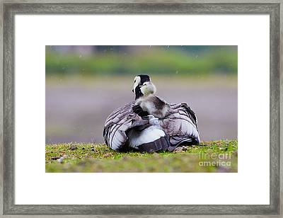 Barnacle Goose With Chick In The Rain Framed Print