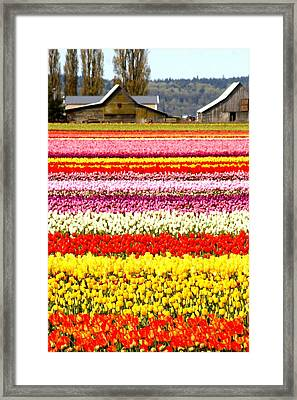 2 Barns And A Field Of Tulips Framed Print by Karla DeCamp
