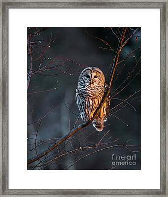 Barred Owl Tall Framed Print by Benjamin Williamson