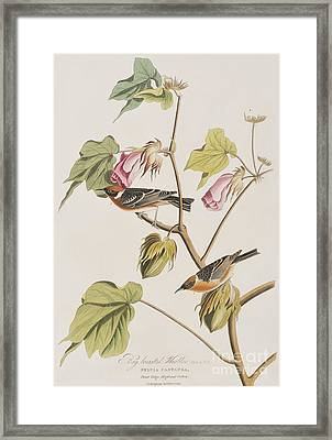 Bay Breasted Warbler Framed Print by John James Audubon