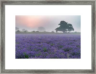 Beautiful Dramatic Misty Sunrise Landscape Over Lavender Field I Framed Print by Matthew Gibson