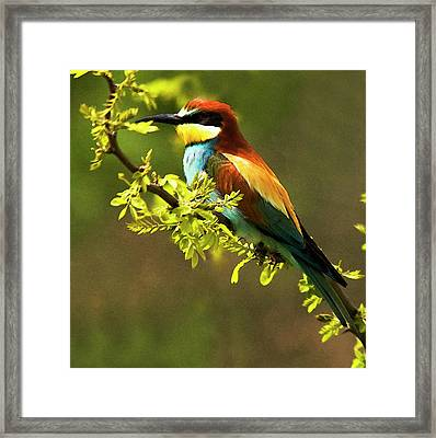 Bee Eater Framed Print