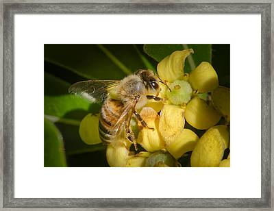 Bees Gathering From Pittosporum Flowers Framed Print
