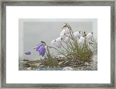 Framed Print featuring the photograph Bellflower by Heiko Koehrer-Wagner