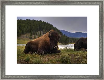 Bison Framed Print by Patrick  Flynn