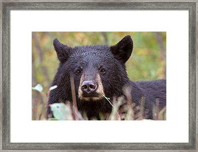 Black Bear Along British Columbia Highway Framed Print