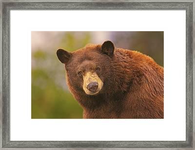 Black Bear Framed Print by Brian Cross