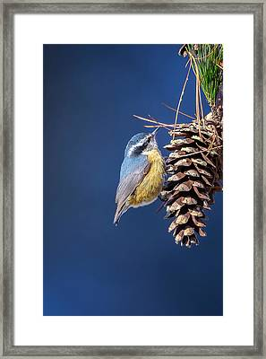 Framed Print featuring the photograph Black-capped Chickadee by Peter Lakomy